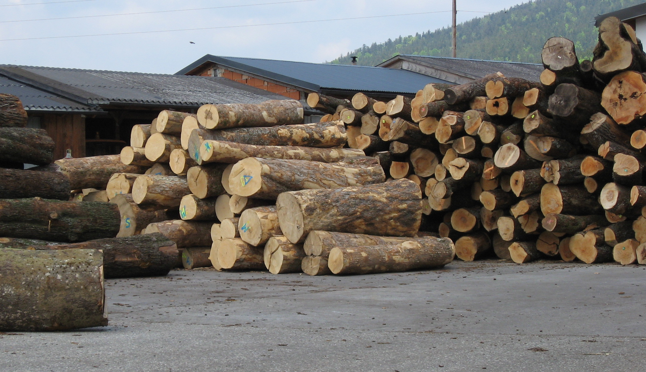 Maple logs ready for the saw mill, Germany
